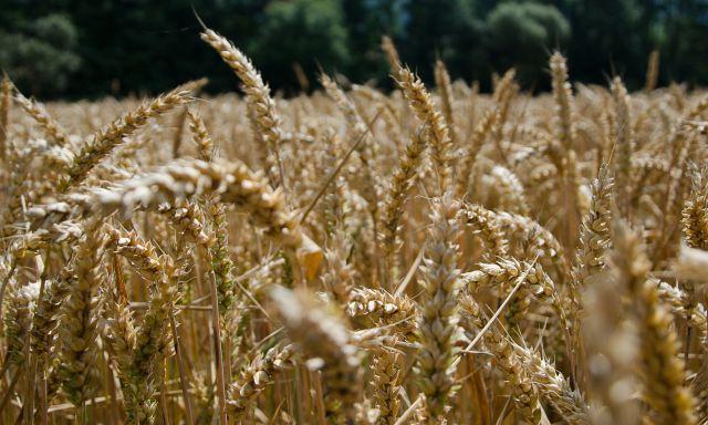 Getreide - Der Urstoff für gesundes Brot aus der Bäckerei Amthor in Waltershausen